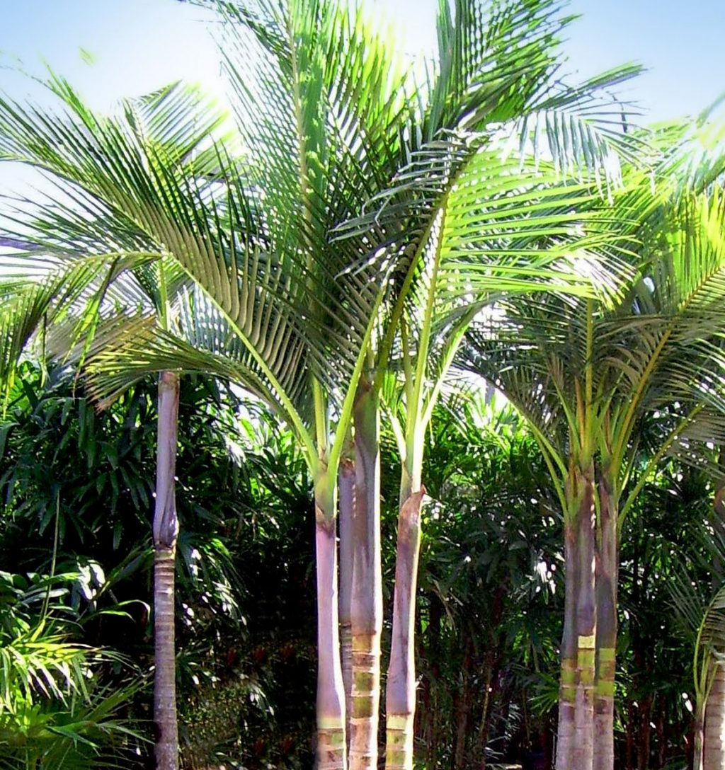 Purple King Palm Tree An Indoor Or Outdoor Palm Fountains Yards
