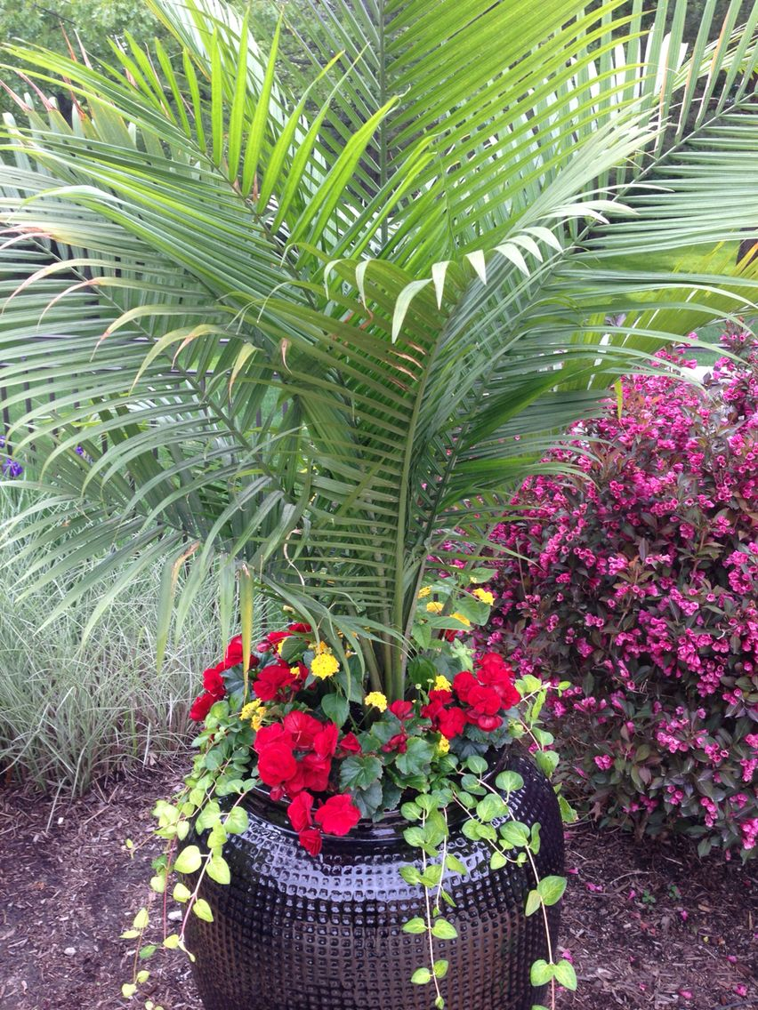 Red Solenia Begonias With Majesty Palm Flower Planters Container