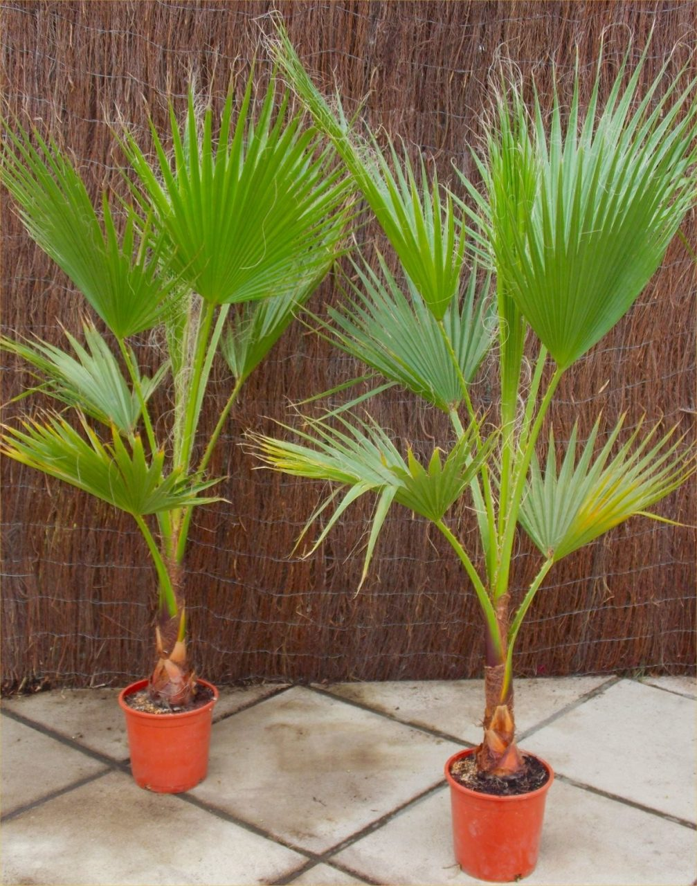 Special Deal Mexican Fan Palm Washingtonia Robusta For Patio