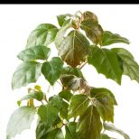 Grape Ivy Plants How To Grow And Care For Cissus Rhombifolia Indoors