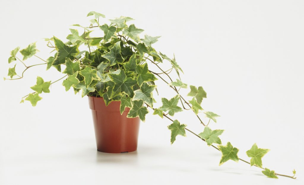 The Basics Of Growing English Ivy Hedera Helix